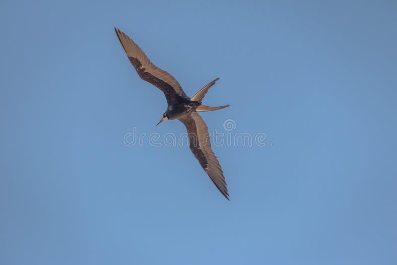 Storartat Frigatebird flyg - Fernando de Noronha, Pernambuco, Brasilien fotografering för bildbyråer
