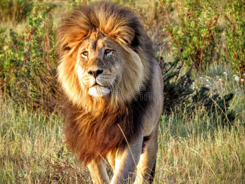 Storartat lejon, i Afrika att att närma sig fotografering för bildbyråer