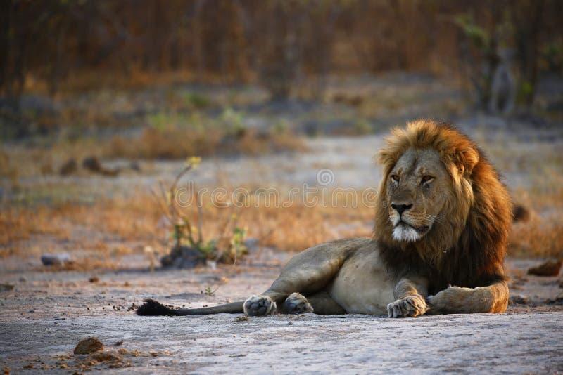Storartat manligt lejon som tycker om hans kungarike arkivfoto