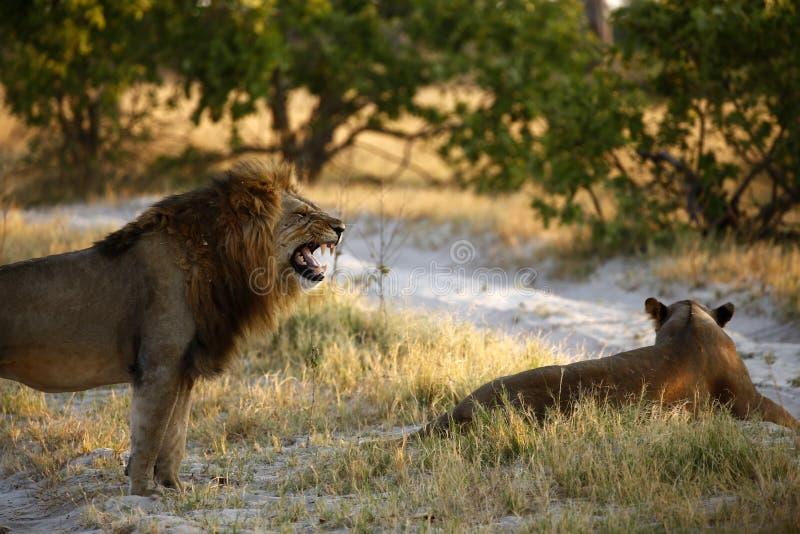 Storartat manligt lejon som tycker om hans kungarike royaltyfri fotografi