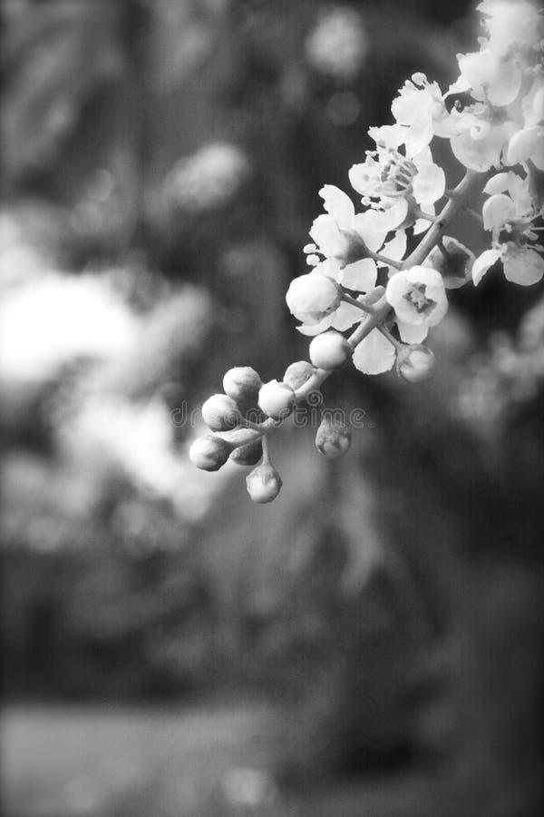 Storaxharsobassia, Geurige Snowbells in Zwart-wit stock afbeelding