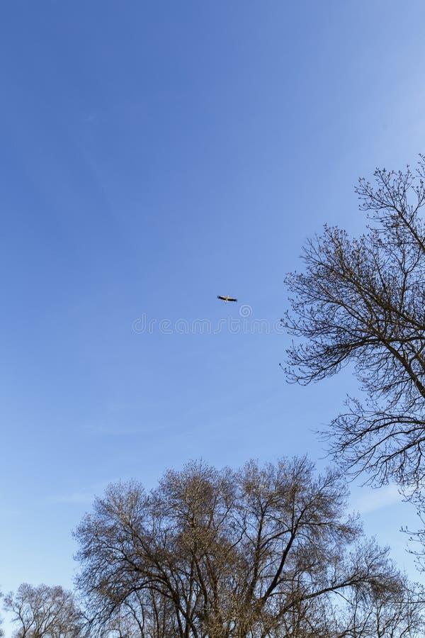 Storch, der über Bäume fliegt stockbild