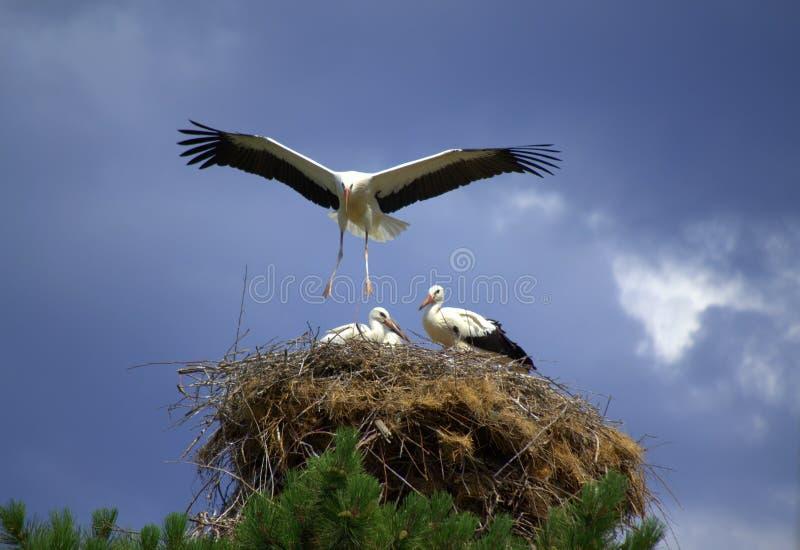 Storch, der sein Nest landet stockbilder