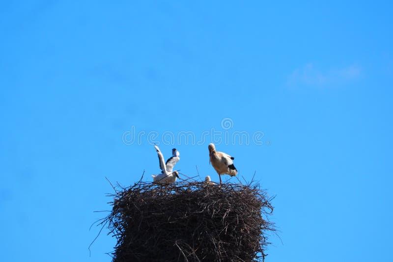 Storch, der seinen Erstflug, in Mollerussa versucht stockfoto