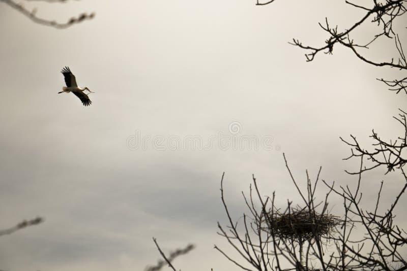 Storch, der zu seinem Nest fliegt stockbild