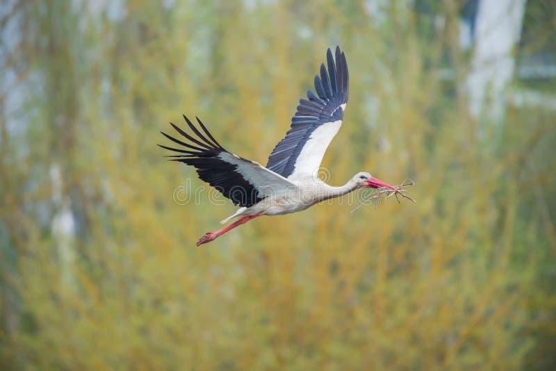 Storch, der zum Nest mit einigen Niederlassungen fliegt stockbild