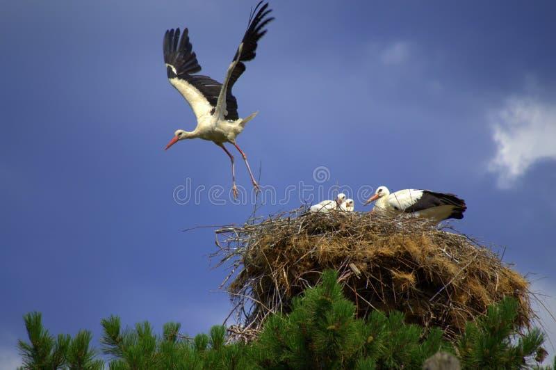 Storch fliegt Nest lizenzfreies stockbild