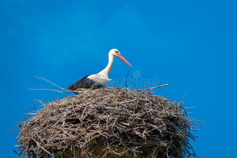 Storch steht in einem Nest im schönen Wetter und im blauen Himmel stockfoto