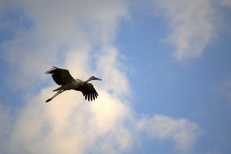 Storchfliegen lizenzfreies stockfoto