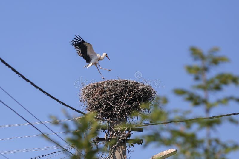 Storchlandung auf einem Nest, das sie auf einen Strompfosten in einem ländlichen Gebiet von Rumänien machten Wilde Tiere, die zwi lizenzfreie stockfotografie