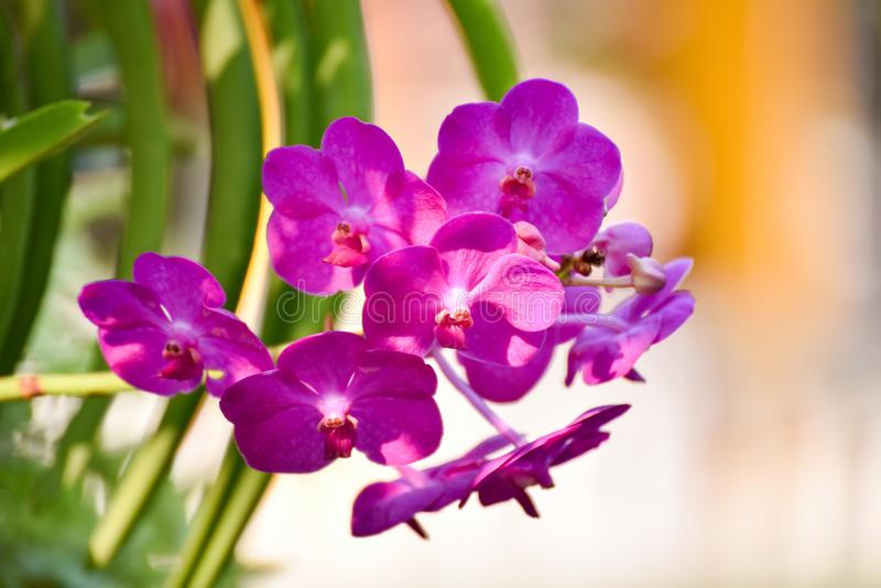 Storczykowa Cymbidium kwiatu ćma orchidei roślina obrazy royalty free