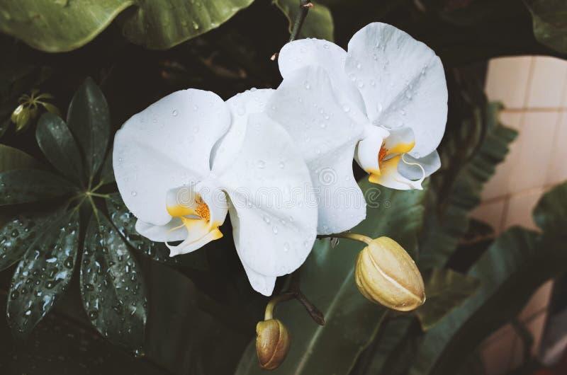 Storczykowa modliszka na storczykowym kwiacie zdjęcia stock