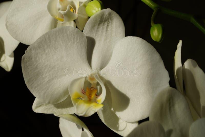 Storczykowego kwiatu makro- fotografia na czarnym tle zdjęcia royalty free