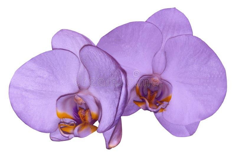 Storczykowy fiołkowy kwiat odizolowywający na białym tle z ścinek ścieżką zbliżenie Purpurowy phalaenopsis kwiat z fiołkiem l zdjęcia stock