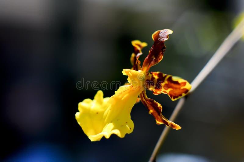 Storczykowy kwiat makro- fotografia royalty free