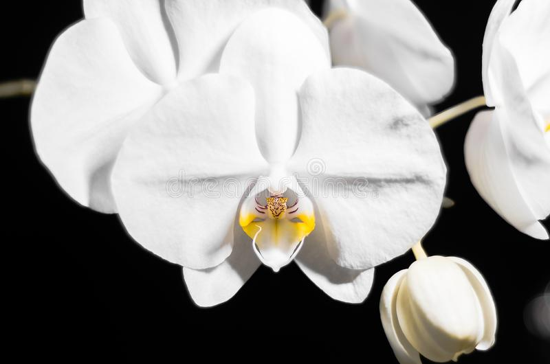 Storczykowy kwiat na czarnym tle zdjęcia royalty free