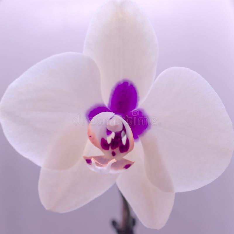 Storczykowy kwiat na zamazanym tle Dekoracja, miłości pojęcie obrazy stock