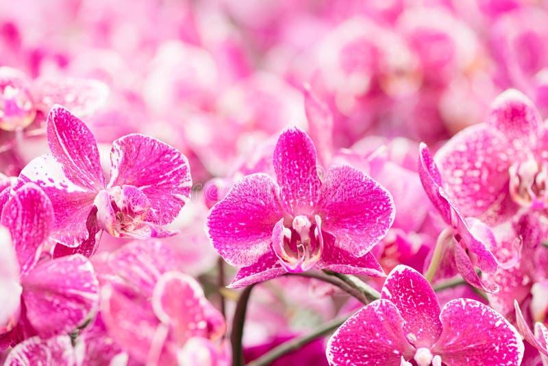 Storczykowy Phalaenopsis Bukiet kwiat orchidee zdjęcia stock