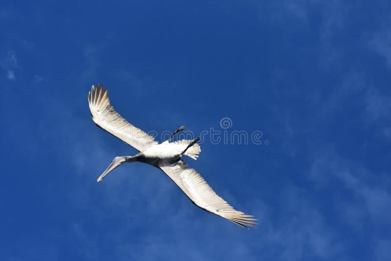Stordendo sopra la foto di un pellicano tropicale fotografia stock