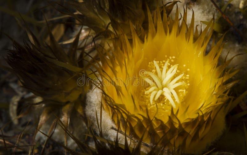 Stordendo vicino sulla fioritura del cactus di barilotto fotografie stock