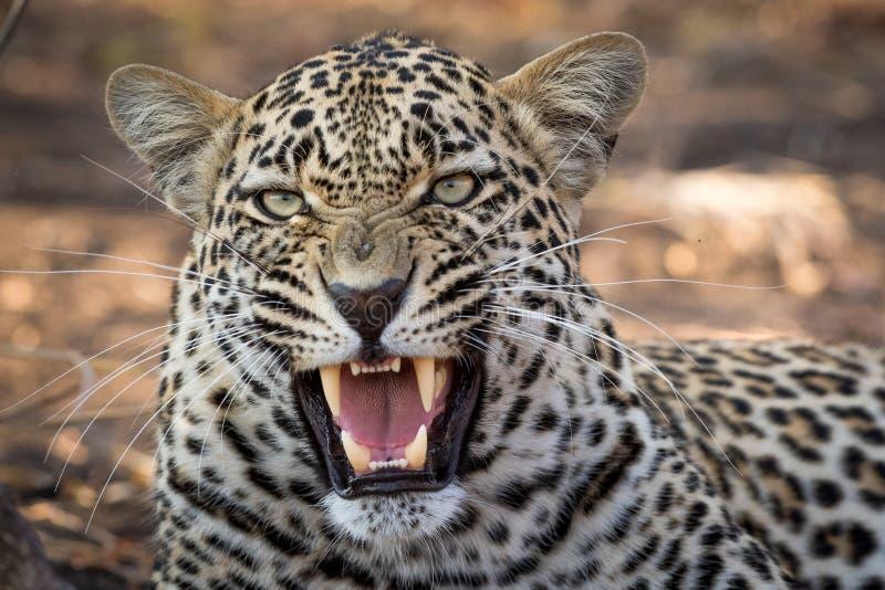 Stordimento sembrando leopardo maschio con la bocca aperta immagini stock libere da diritti