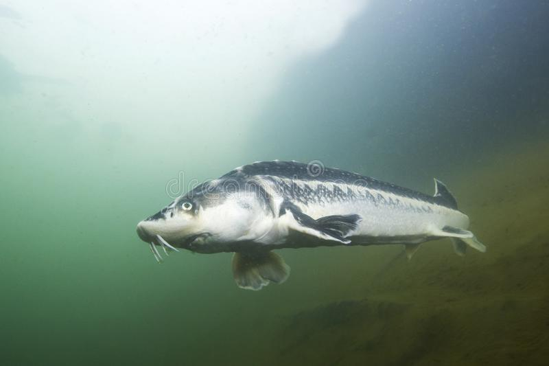 Storione russo del pesce di acqua dolce, gueldenstaedti di acipenser nel bello fiume pulito Fotografia subacquea di nuoto fotografia stock