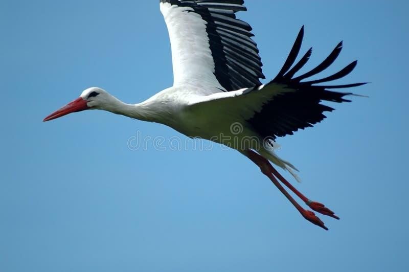 stork royaltyfria foton