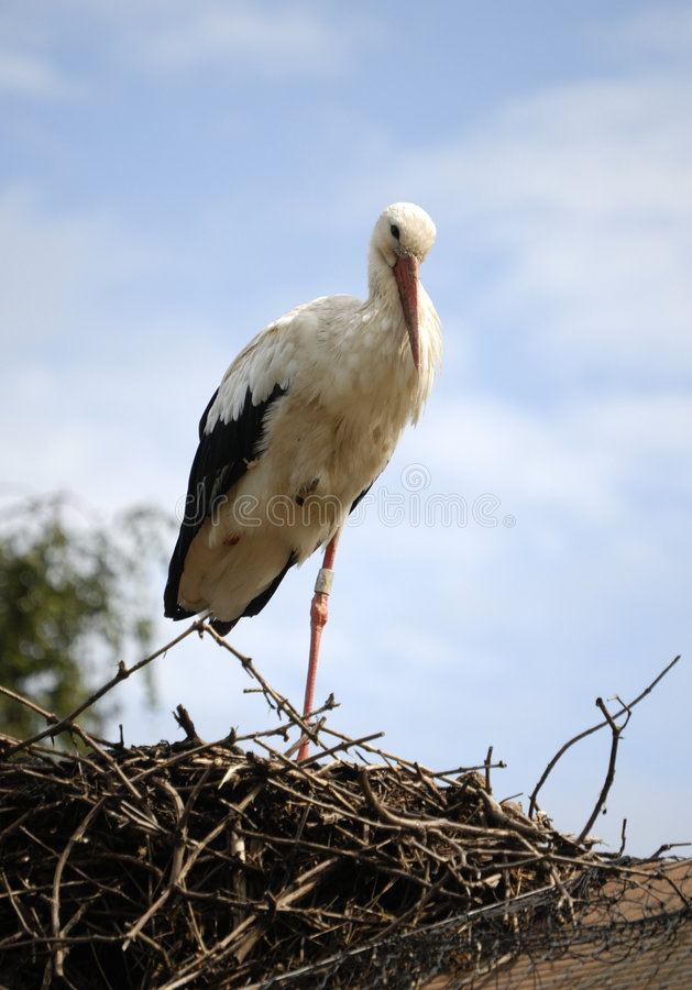 Stork. Bird in Alsace, France stock image