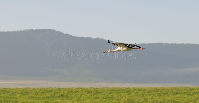 Download Stork stock image. Image of africa, flying, wild, stork - 13514121