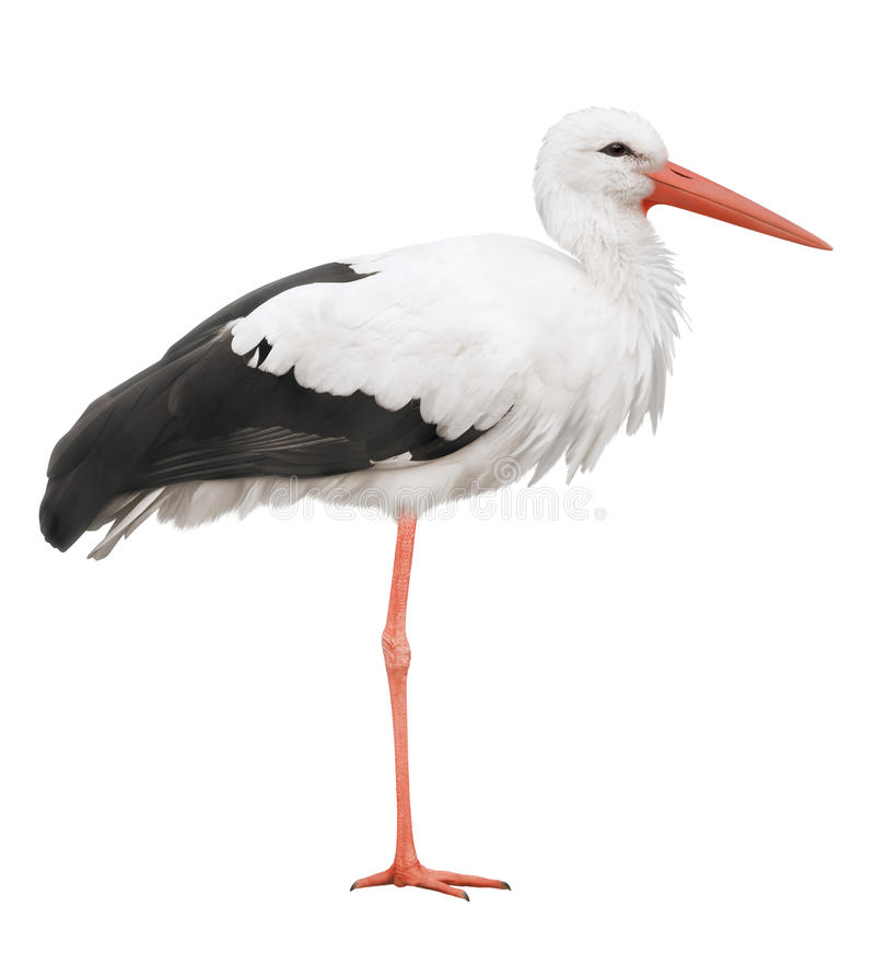 Free Stork Royalty Free Stock Images - 16544699