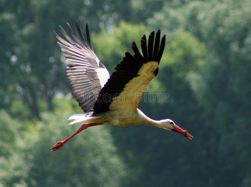 Download Stork stock photo. Image of feathered, flight, wingspan - 17549792
