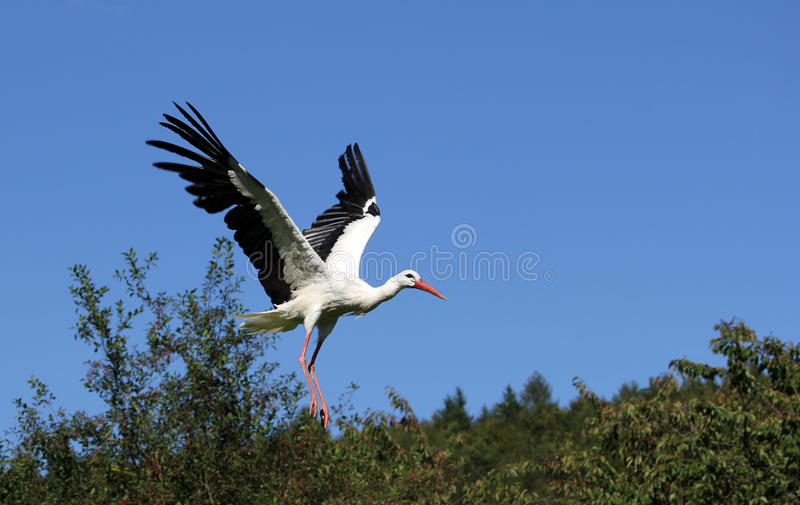 Download Stork stock image. Image of birds, screaming, blue, shrubbery - 21946363