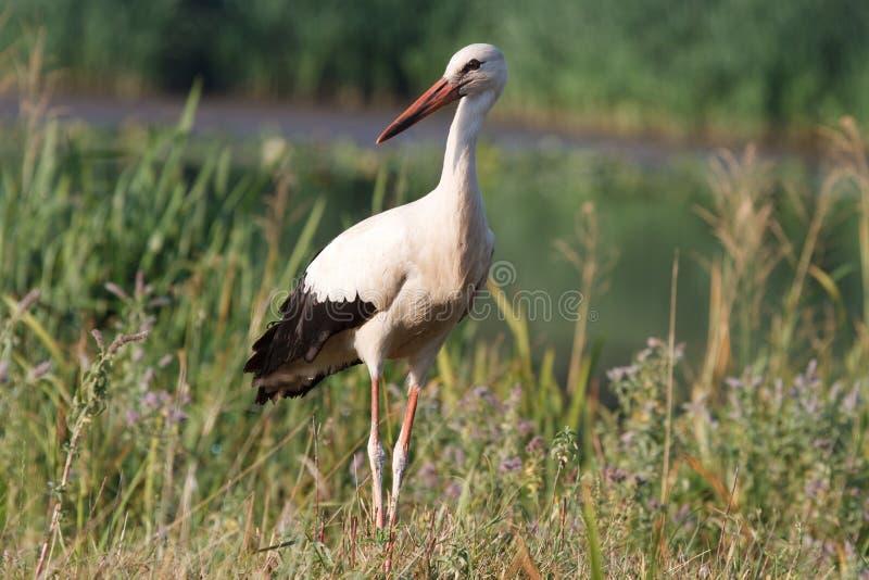 Stork Royalty Free Stock Photography