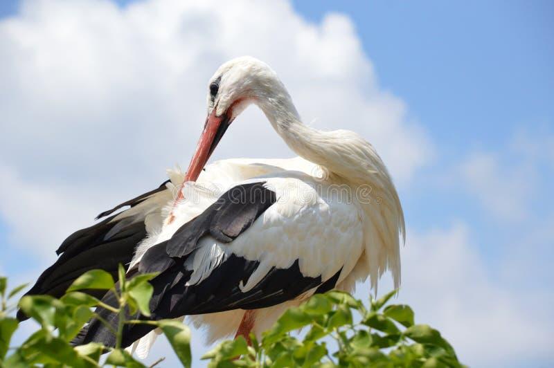Stork / Cigogne. Stork beak in his plumage / Cigogne bec dans son plumage royalty free stock images