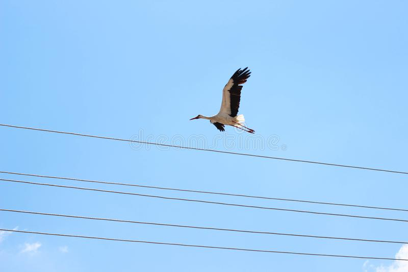 Stork bird flying blue  sky and wire. Birds, clouds, black, whiye, white royalty free stock photography