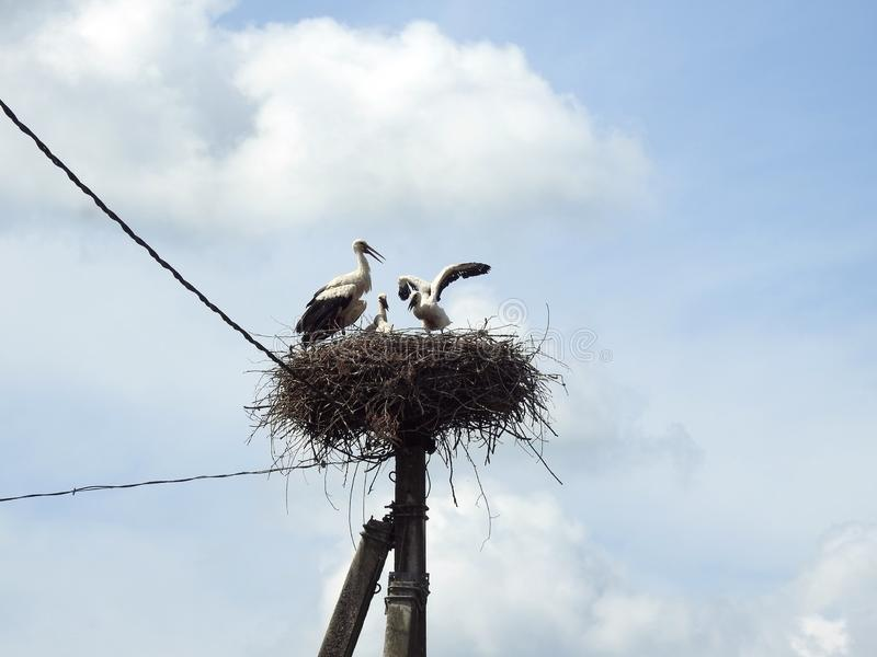 Stork bird with kids in nest, Lithuania royalty free stock photography