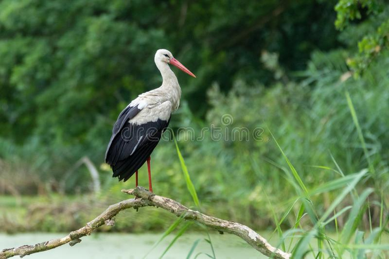 Stork on a branch. Stork on a bough on the river. In the forest stock images