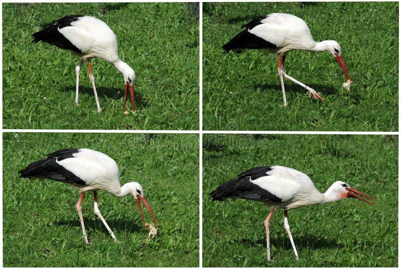 Stork eating. Feeding time, stork eating chicken royalty free stock photography