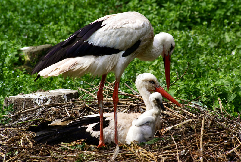 Stork family royalty free stock photo