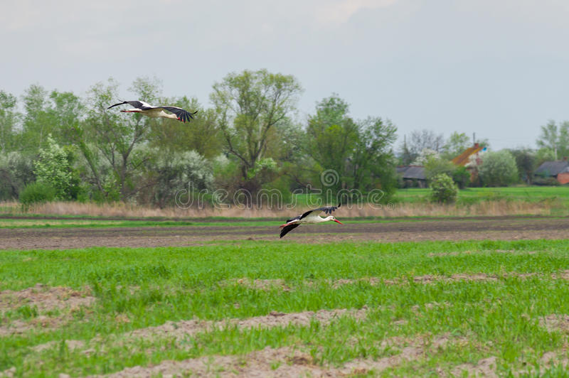 Stork family arriving to rural area stock photography