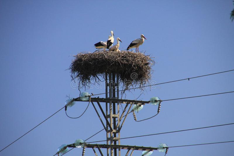 Stork family living in nest on electric pole against blue sky in Andalusia, Spain stock photo