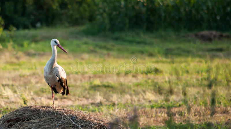 Stork in the field stock photography