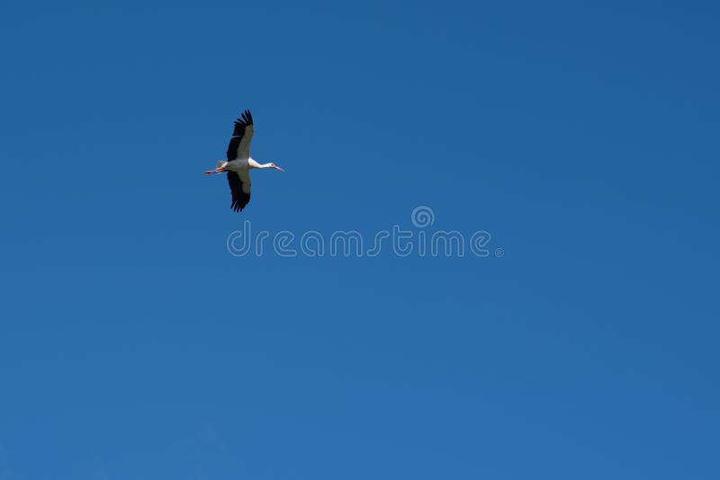 Stork flies in the blue sky royalty free stock photos