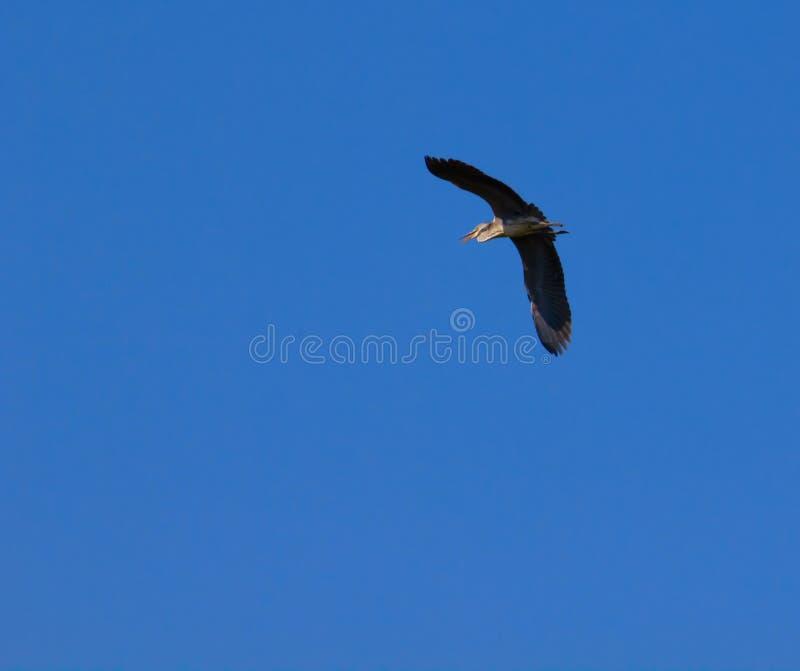 Stork Flying Stock Image