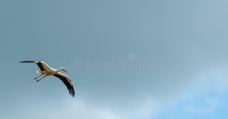 Flying stork royalty free stock photography