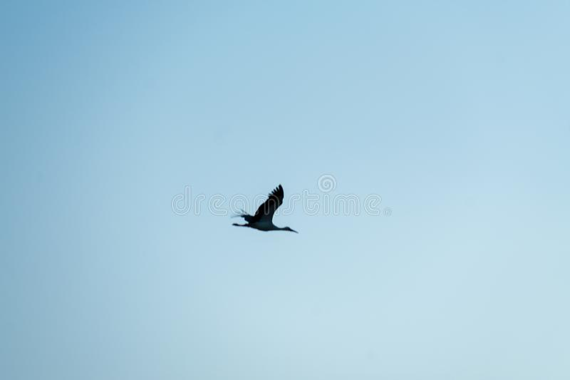 Stork flying in a blue sky with some clouds on a winter afternoon 7. Stork flying in a blue sky with some clouds on a winter afternoon stock photo