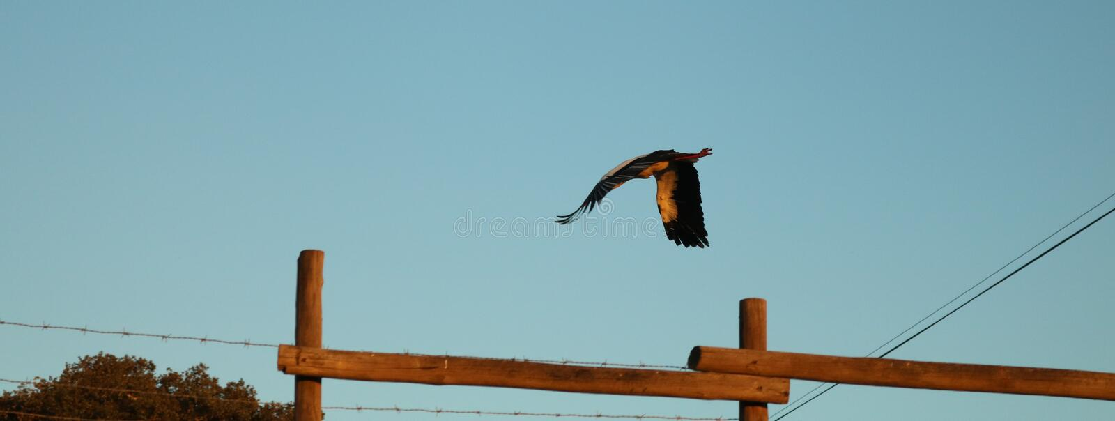 Stork flying over fence. Silhouette stork flying over wire fence. Portugal. Europe. Free royalty free stock photos