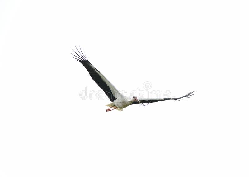 Stork Flying in the Sky with Wings Spread and Branch in Beak royalty free stock images