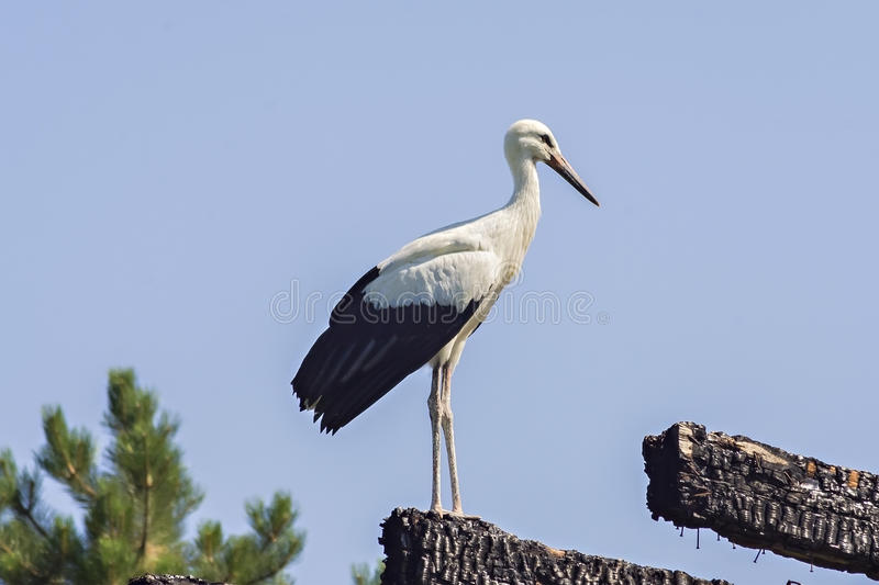 Download Stork stock image. Image of clear, white, outdoors, stork - 61685029