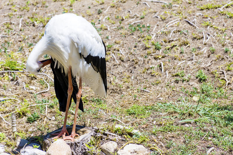 Stork. On the green grass in Marineland waterpark zoo ,Spain royalty free stock images